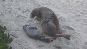 seal birth - San Diego Scenic Cycle Tours