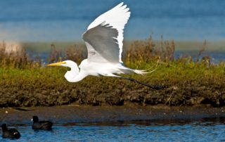 coronado egret - Scenic Cycle Tours - San Diego Bike Tours