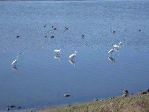 coronado egrets - Scenic Cycle Tours - San Diego Bike Tours